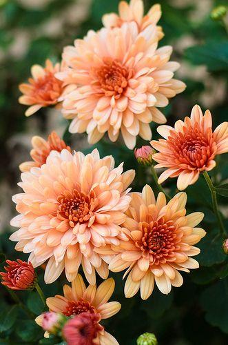 331x500 > Chrysanthemum Wallpapers