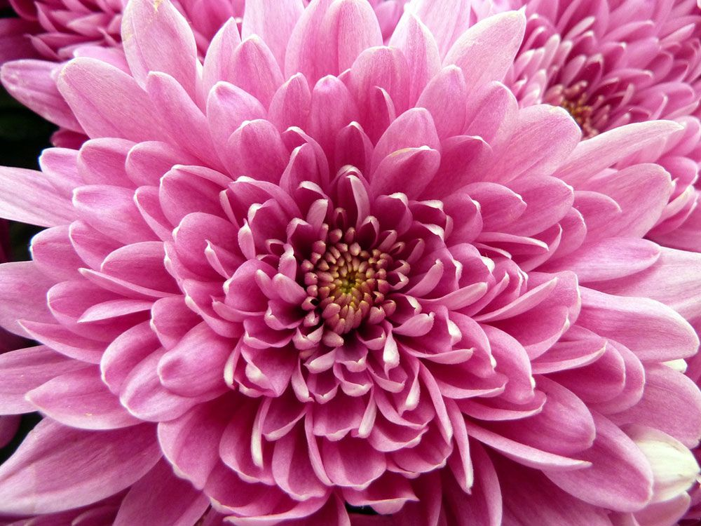 Chrysanthemum High Quality Background on Wallpapers Vista