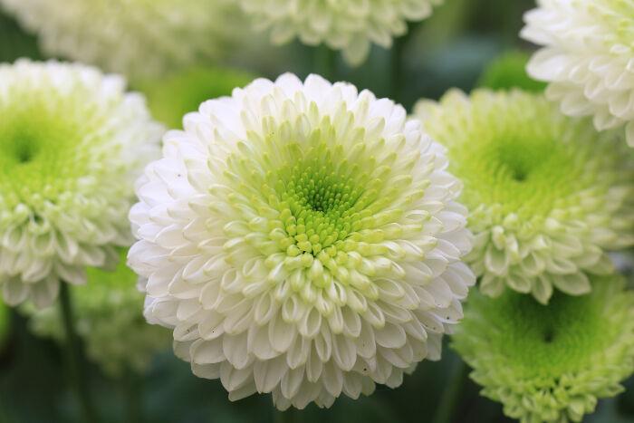 High Resolution Wallpaper | Chrysanthemum 700x467 px