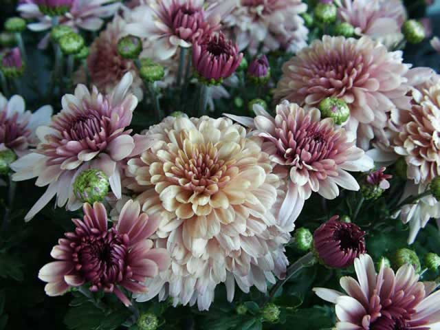 Images of Chrysanthemum | 640x480