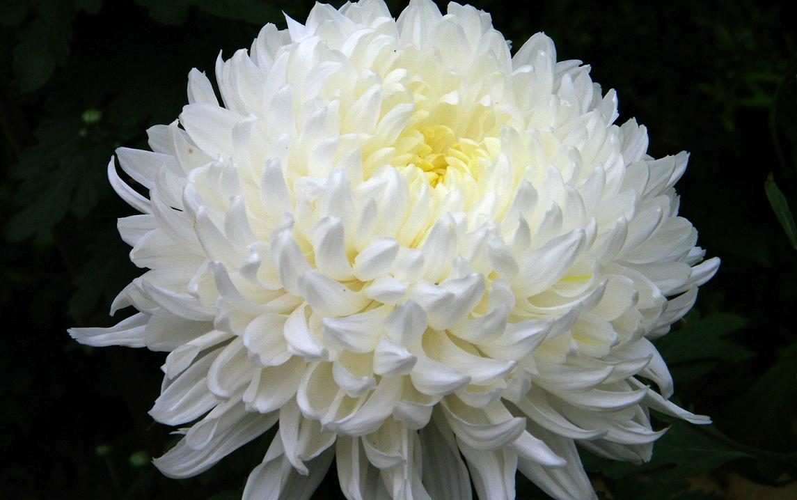 Images of Chrysanthemum | 1145x718