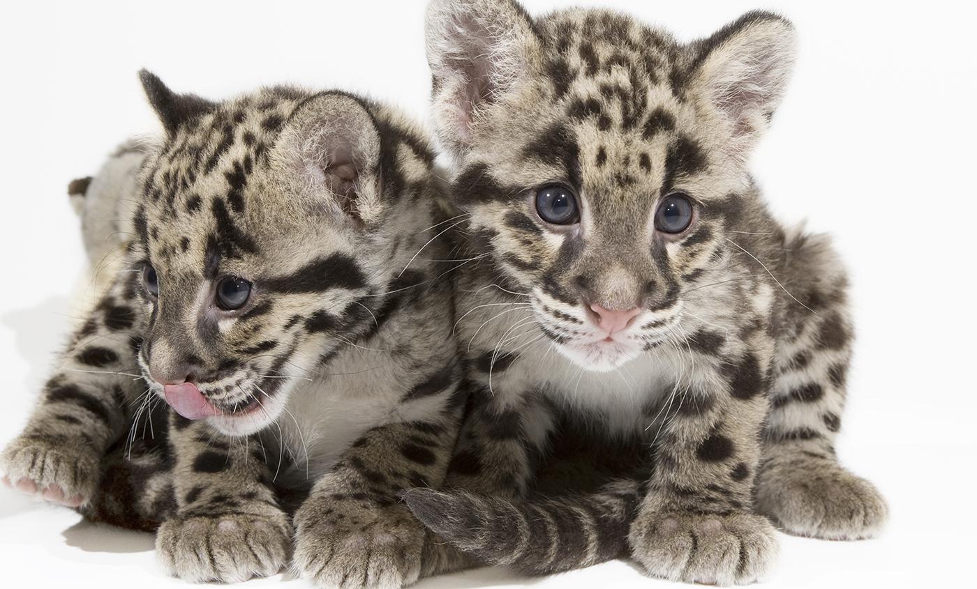 Clouded Leopard  HD wallpapers, Desktop wallpaper - most viewed