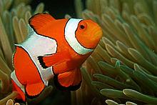 Clownfish HD wallpapers, Desktop wallpaper - most viewed