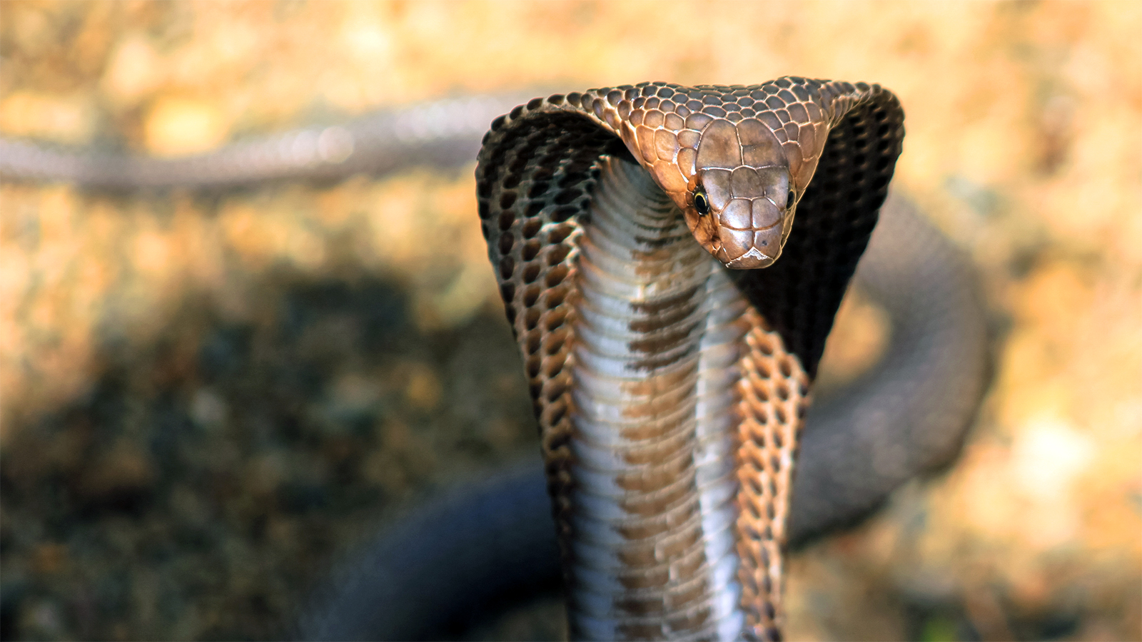 King Cobra Pics, Animal Collection