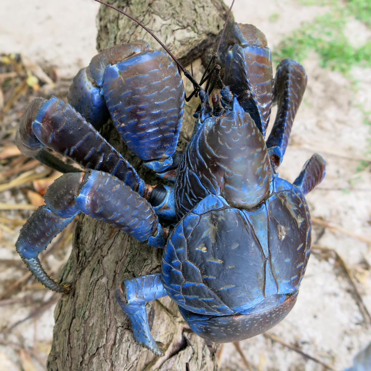 Coconut Crab HD wallpapers, Desktop wallpaper - most viewed