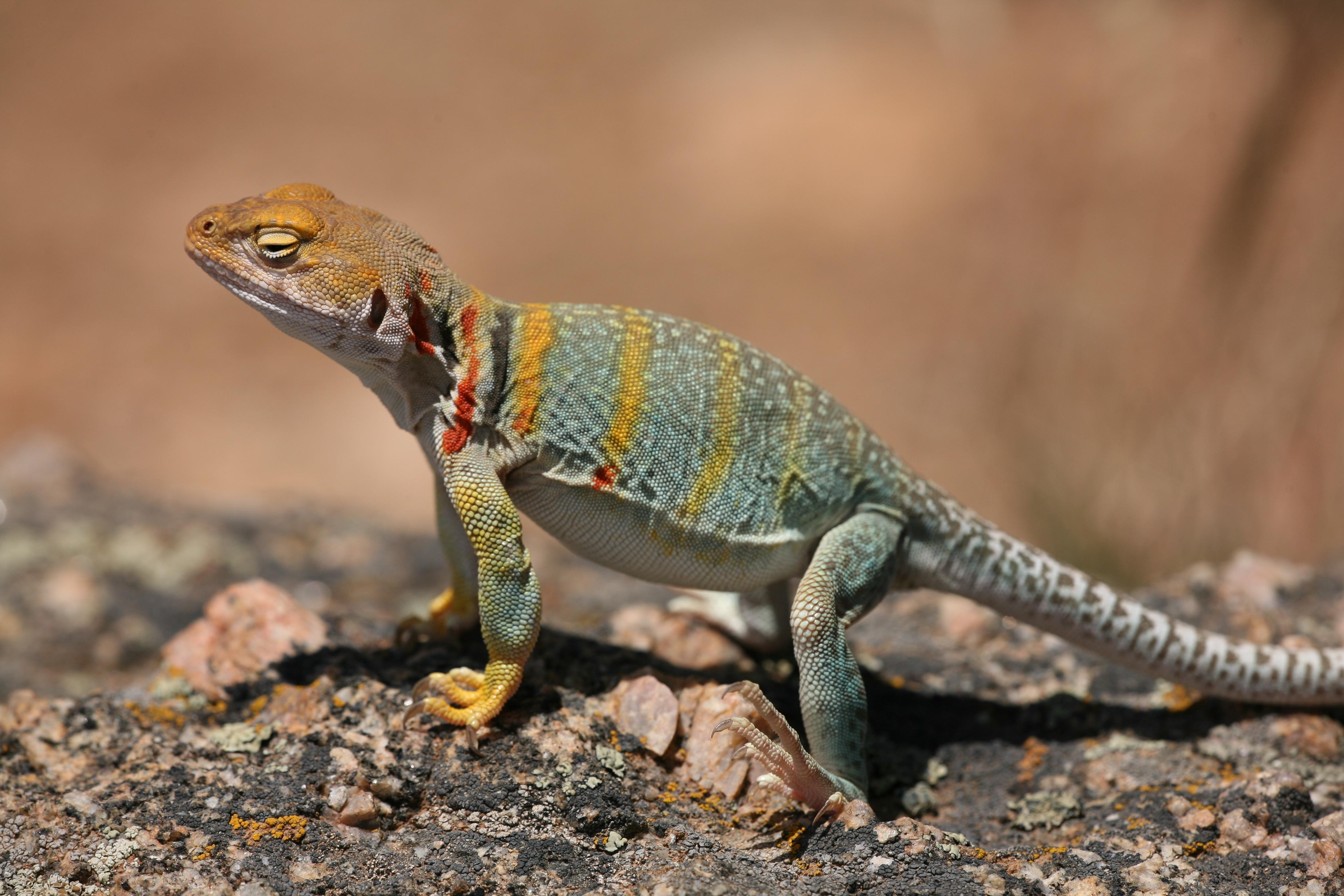 Collared Lizard HD wallpapers, Desktop wallpaper - most viewed