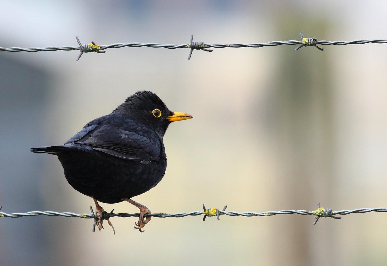 Common Blackbird HD wallpapers, Desktop wallpaper - most viewed