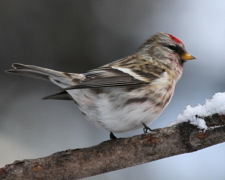 Common Redpoll Pics, Animal Collection