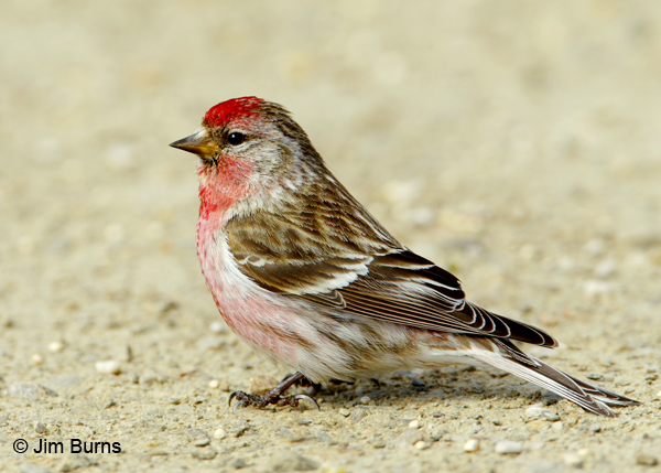 600x429 > Common Redpoll Wallpapers