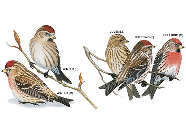 Common Redpoll Backgrounds on Wallpapers Vista