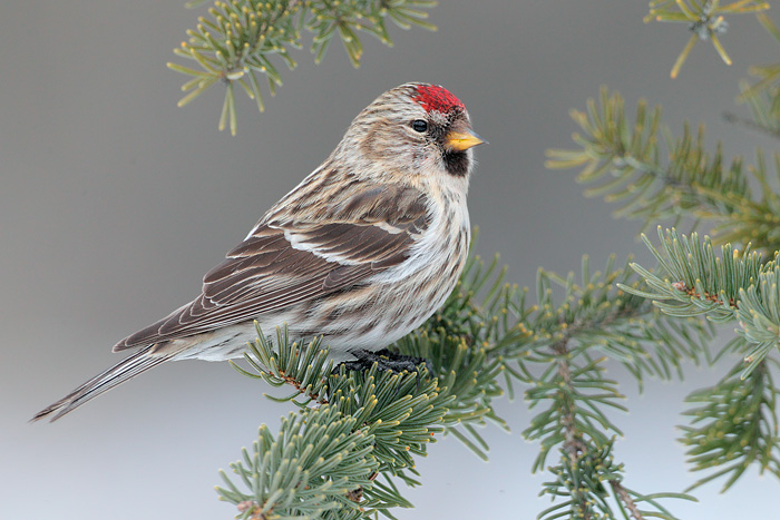Images of Common Redpoll | 700x467