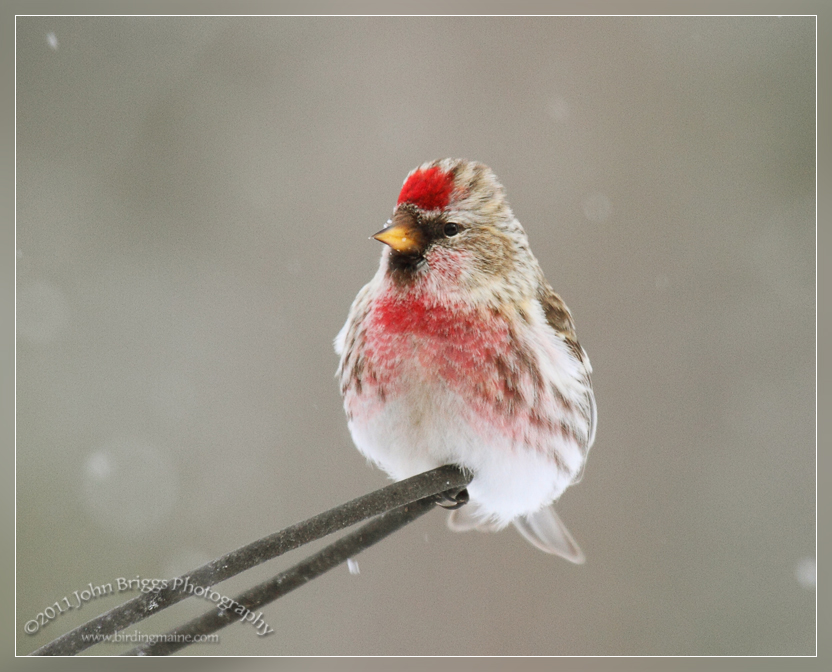 Images of Common Redpoll | 832x672