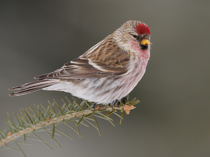 Amazing Common Redpoll Pictures & Backgrounds