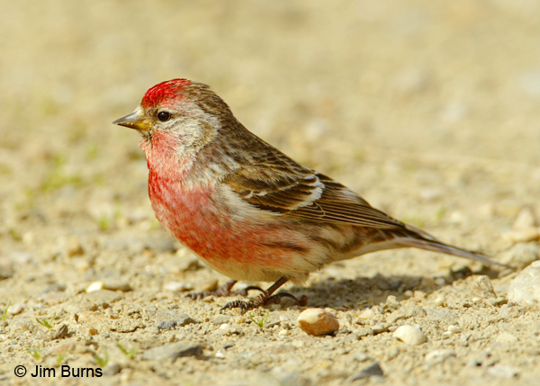 Nice Images Collection: Common Redpoll Desktop Wallpapers