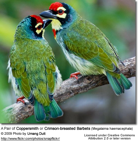 Coppersmith Barbet HD wallpapers, Desktop wallpaper - most viewed