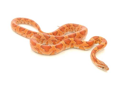 Corn Snake HD wallpapers, Desktop wallpaper - most viewed