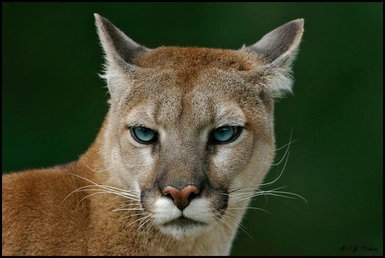 Cougar HD wallpapers, Desktop wallpaper - most viewed
