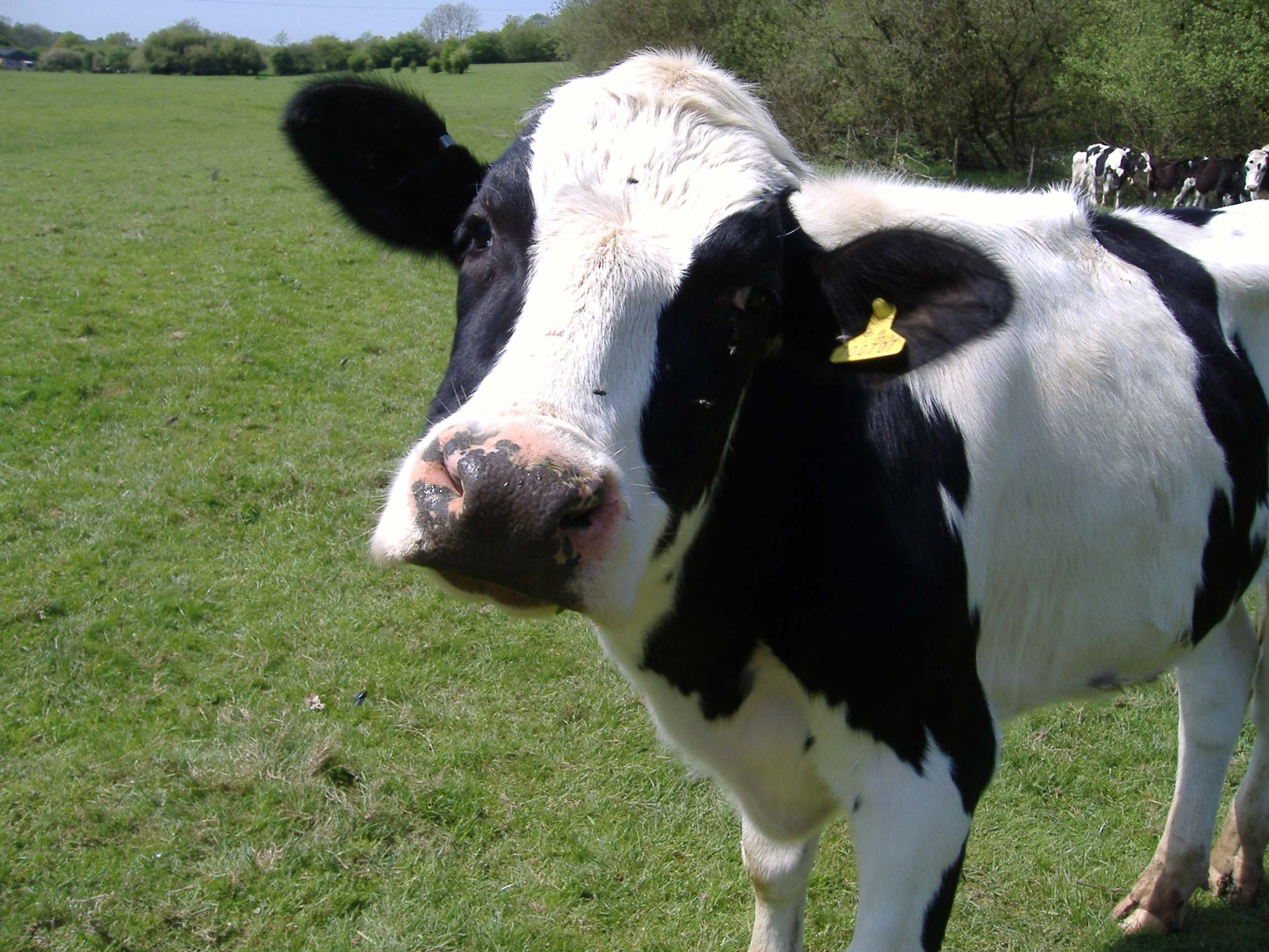 Amazing Cow Pictures & Backgrounds