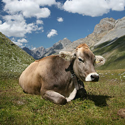 Cow Backgrounds on Wallpapers Vista
