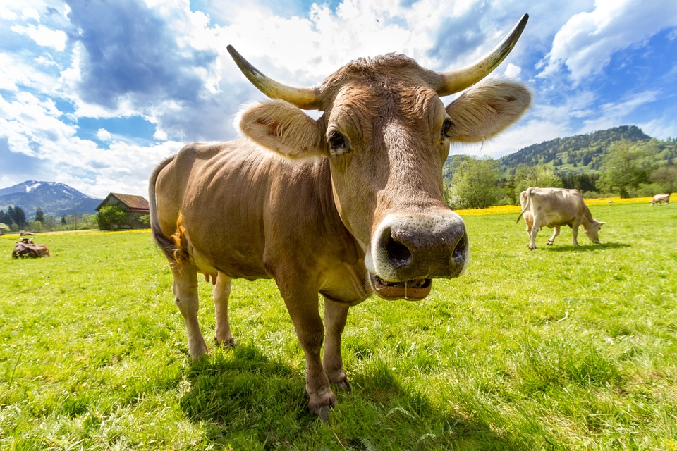 Nice Images Collection: Cow Desktop Wallpapers