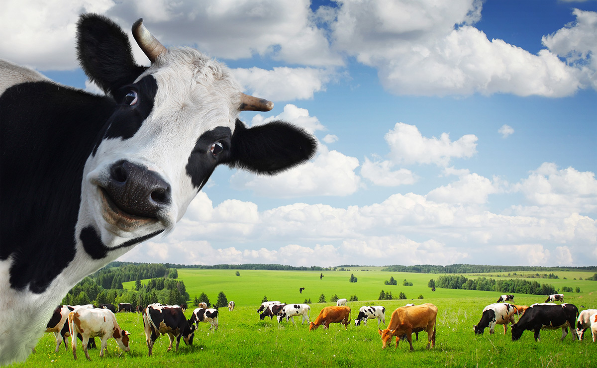 Images of Cow | 1200x740