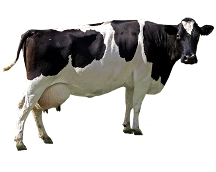 HQ Cow Wallpapers | File 131.6Kb