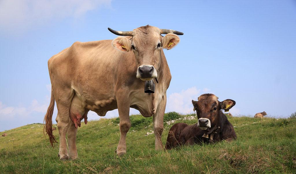 Cow Pics, Animal Collection