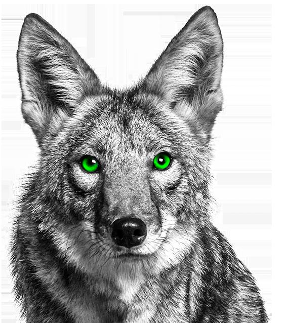 Coyote HD wallpapers, Desktop wallpaper - most viewed