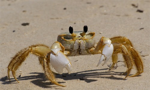 High Resolution Wallpaper | Ghost Crab 500x300 px