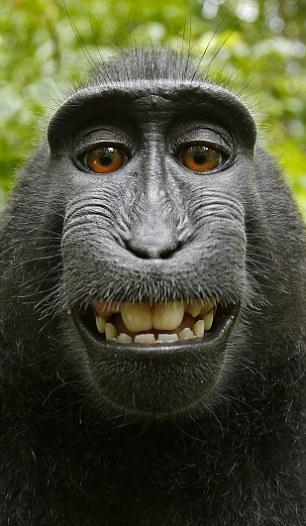 Crested Black Macaque HD wallpapers, Desktop wallpaper - most viewed
