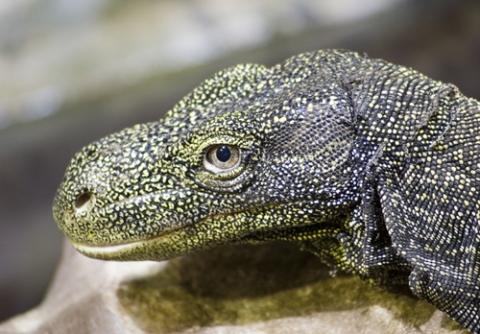 Crocodile Monitor HD wallpapers, Desktop wallpaper - most viewed