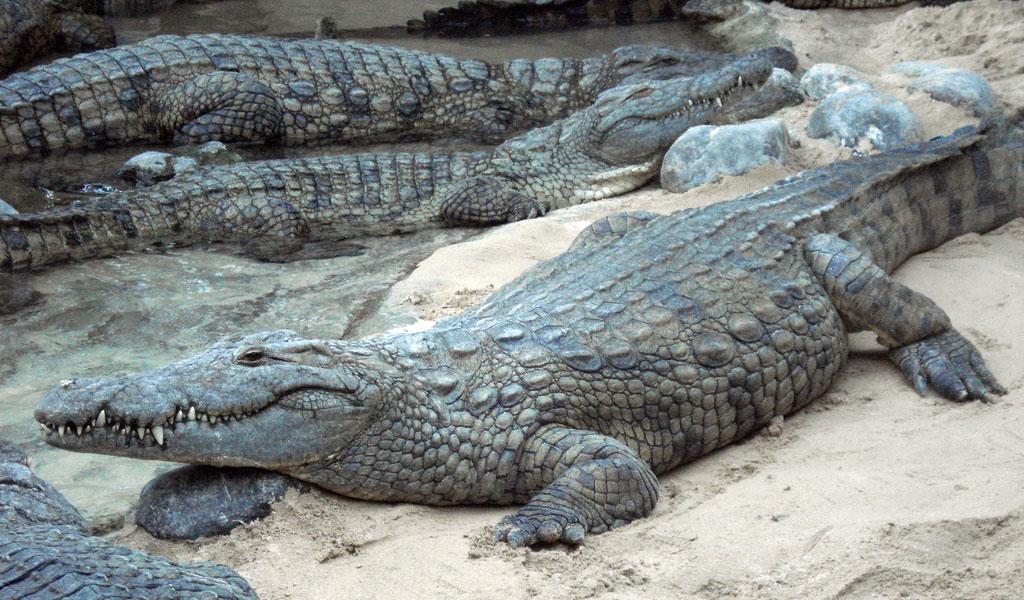 Crocodile HD wallpapers, Desktop wallpaper - most viewed
