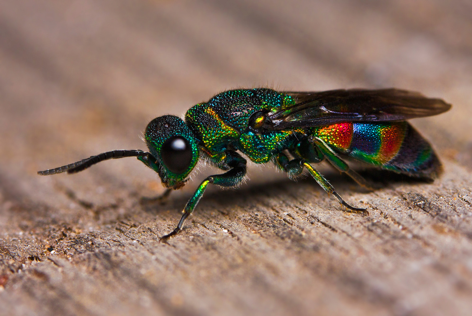 HD Quality Wallpaper | Collection: Animal, 1600x1072 Cuckoo Wasp