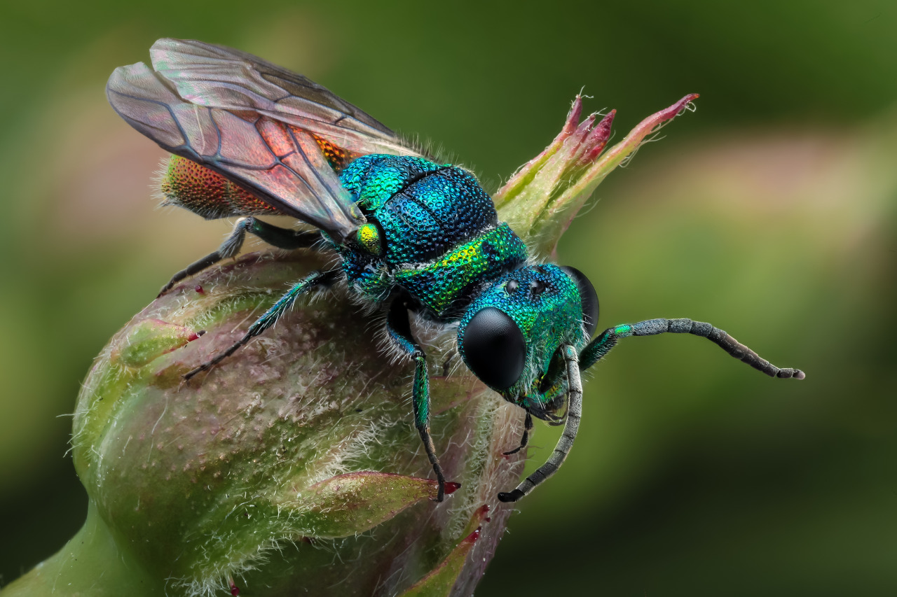 HQ Cuckoo Wasp Wallpapers | File 295.89Kb