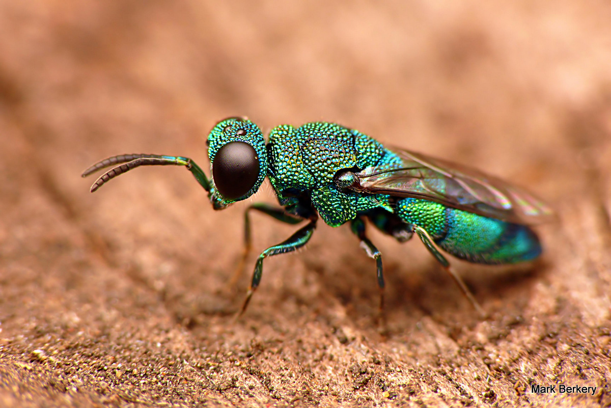 Nice wallpapers Cuckoo Wasp 1200x801px