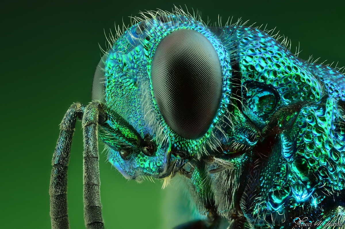 HD Quality Wallpaper | Collection: Animal, 1200x795 Cuckoo Wasp