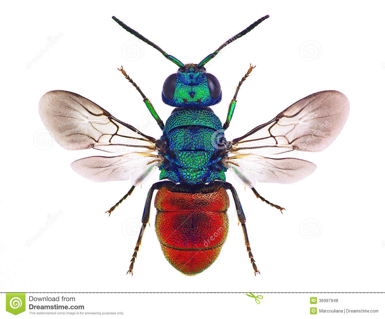 HD Quality Wallpaper | Collection: Animal, 1300x1076 Cuckoo Wasp