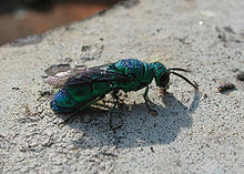Cuckoo Wasp Backgrounds on Wallpapers Vista