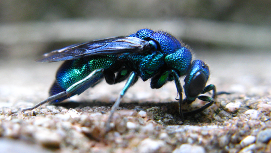 560x317 > Cuckoo Wasp Wallpapers