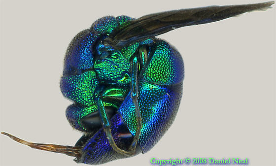 Cuckoo Wasp Pics, Animal Collection