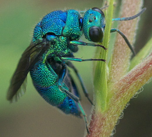 High Resolution Wallpaper | Cuckoo Wasp 518x466 px