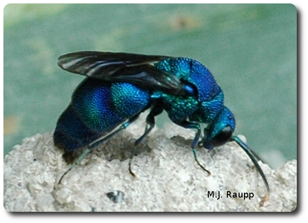 630x456 > Cuckoo Wasp Wallpapers