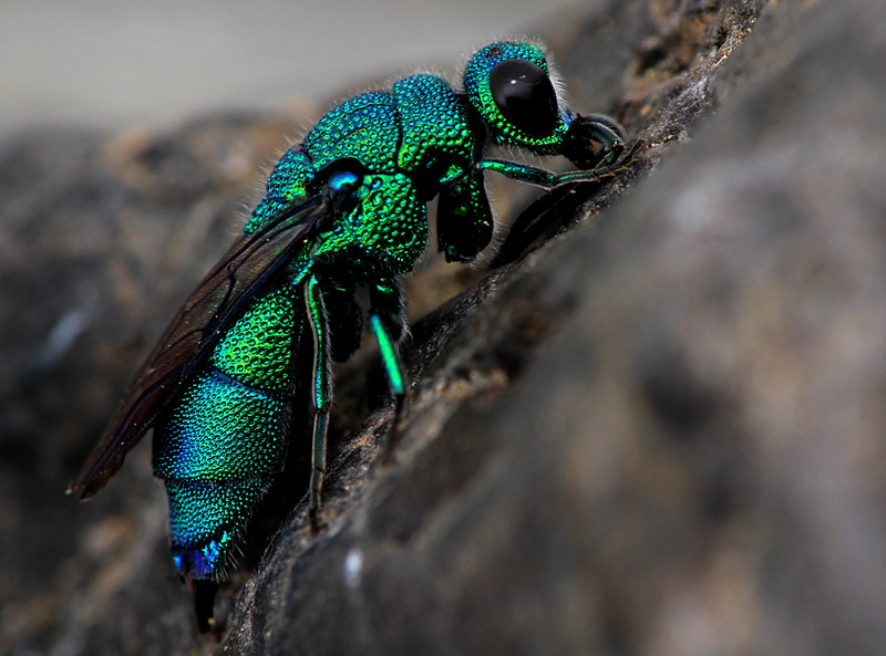 Amazing Cuckoo Wasp Pictures & Backgrounds