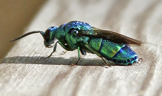 HQ Cuckoo Wasp Wallpapers | File 68.07Kb
