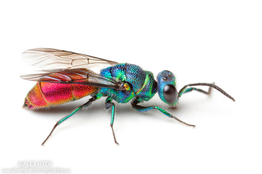 Nice Images Collection: Cuckoo Wasp Desktop Wallpapers