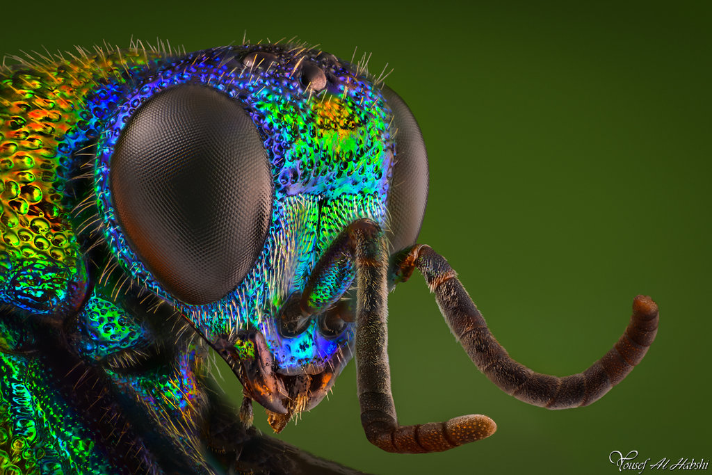 Cuckoo Wasp Backgrounds, Compatible - PC, Mobile, Gadgets| 1024x683 px