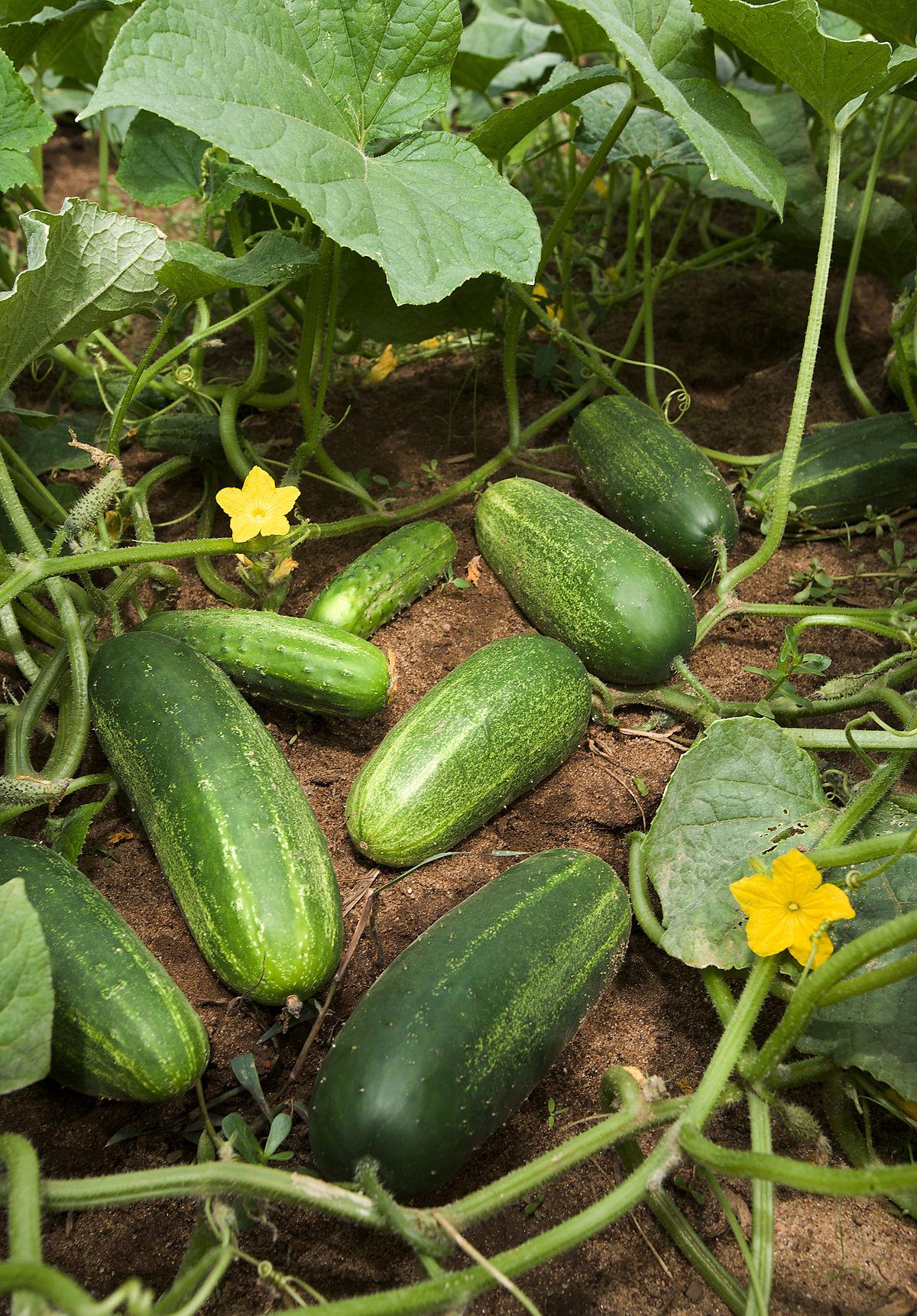 Images of Cucumber | 1200x1722