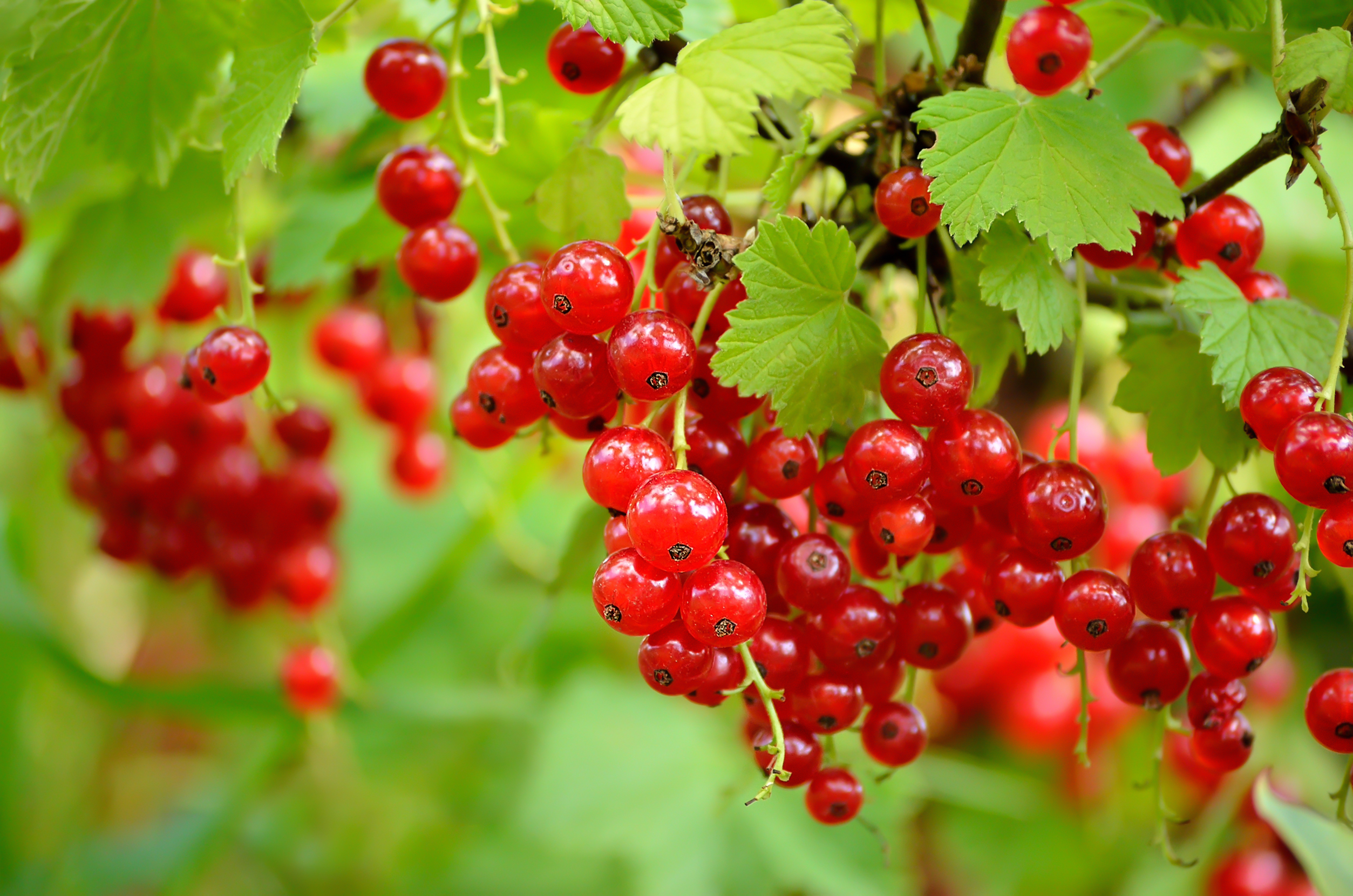 HQ Currants Wallpapers | File 2474.07Kb