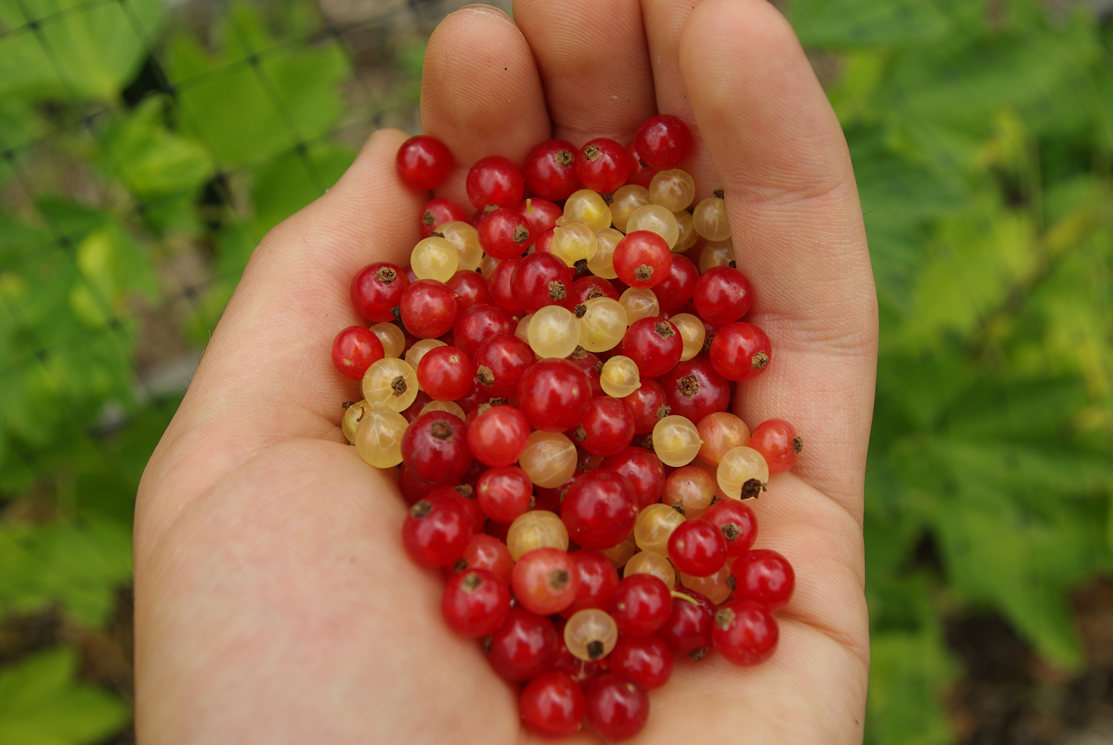 Nice wallpapers Currants 3872x2592px