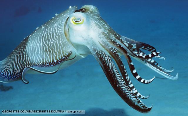 Cuttlefish HD wallpapers, Desktop wallpaper - most viewed